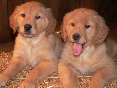 Waglers Goldens Puppies Adult Dogs And Stud Service